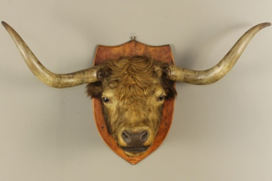 english-mounted-taxidermy-highland-cattle-bulls-head-arabeaque-antiques